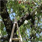 Echelle de récolte en bois pointue 3 m.